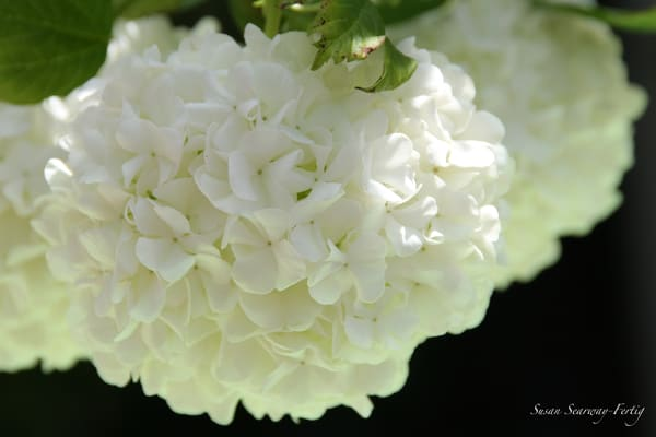 Hydrangea 2 Art | Susan Searway Art & Design