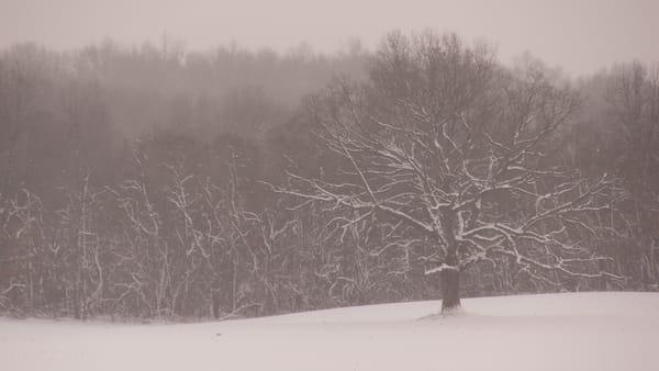 Oak Tree in Snow Storm