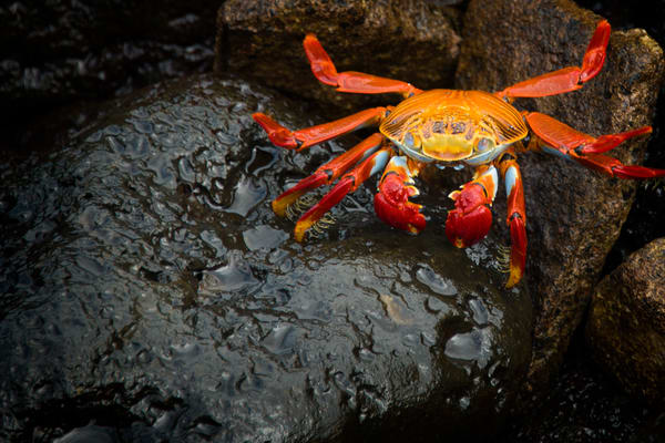 Sally Lightfoot Crab in Galapagos