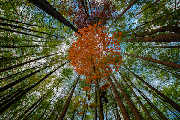 Single orange tree amongst the forest of pines