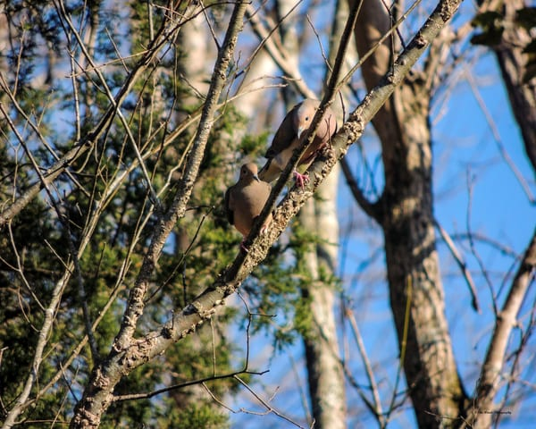 Mourning Doves Photography Art | N2 the Woods Photography - Nature and Wildlife Artwork