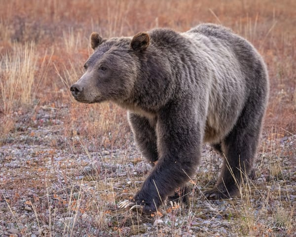 Grizzly Bear No. 399 in Grand Teton National Park