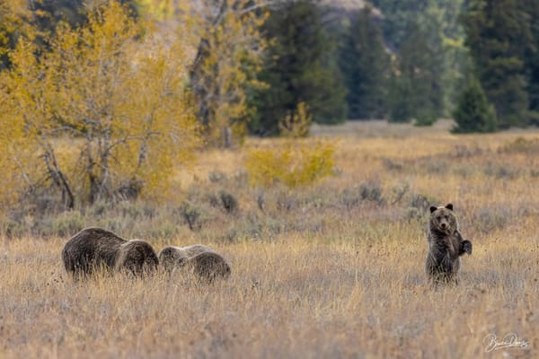 There's Always One-Grizzly Bear No. 399's Cubs