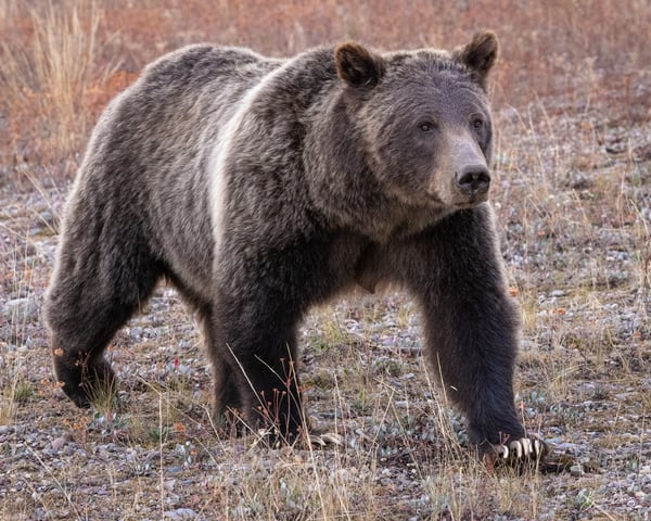 Grizzly Bear No. 399 in Grand Teteon National Park III