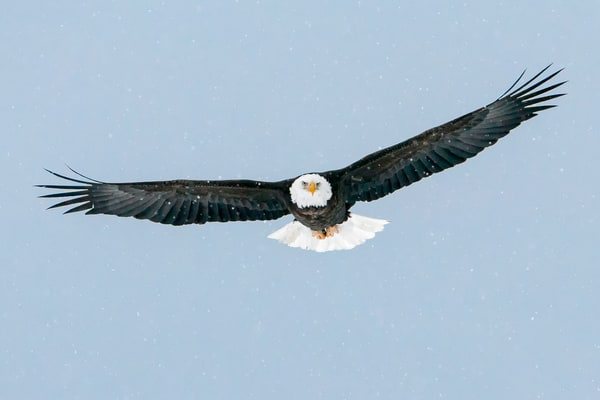 Bald Eagle in Flight in Snow