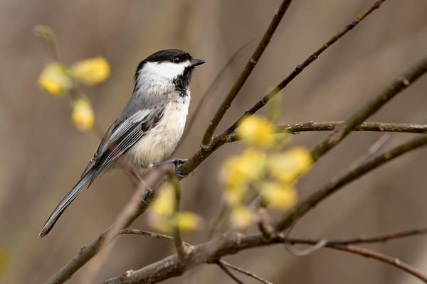Chickadee in Pussy Willow