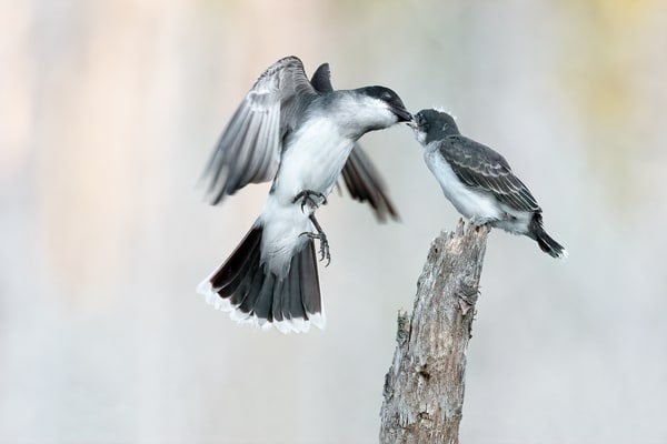 Eastern Kingbird Feeding on the Wing