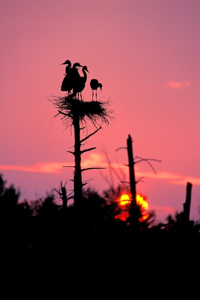 Great Blue Heron Sunset