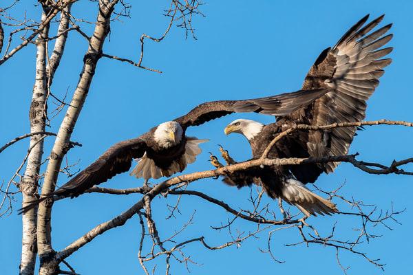 Incoming Bald Eagles