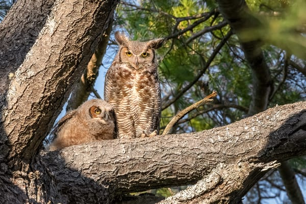 Great-horned Owl Owls