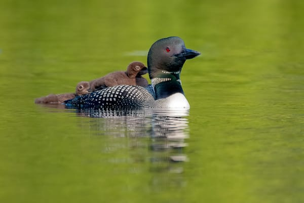 A Mom and Loon Chicks