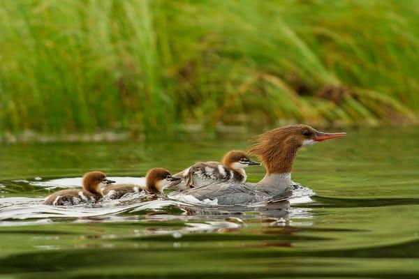 Merganser Mom and Chicks