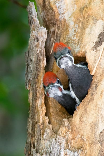Pileated Woodpeckers