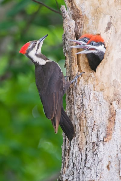 Pileated Woodpecker Chicks