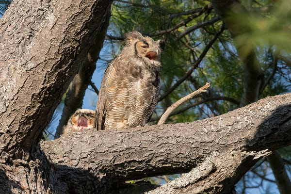 Yawning great-horned Owl