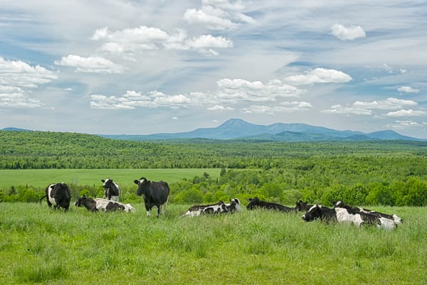 Cows and Mt Katahdin