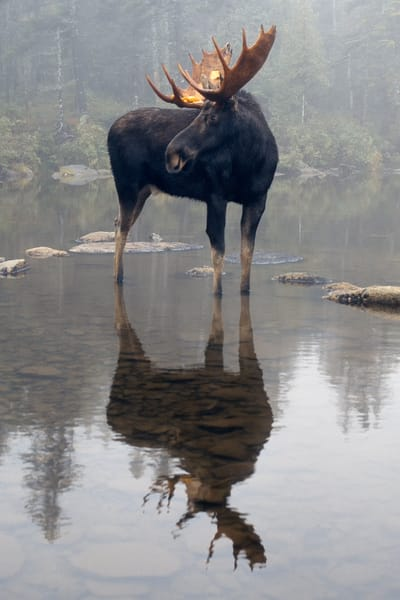 Bull Moose and Reflection