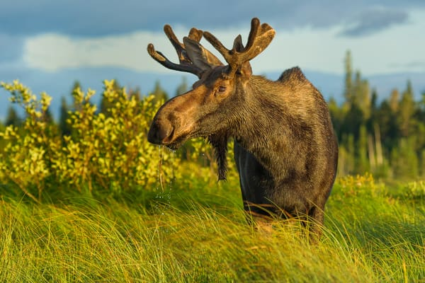 Bull Moose in Grass