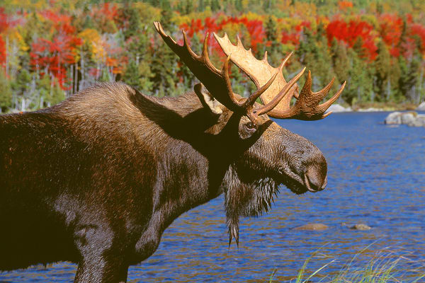 Bull Moose in Autumn Color Portrait