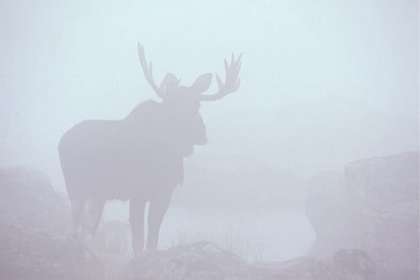 Bull Moose in Fog