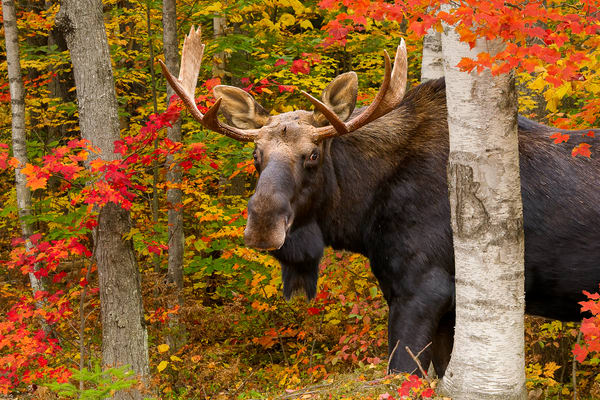 Bull Moose in Red Maples