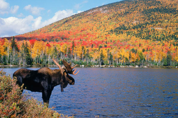 Bull Moose in Autumn Color with Mountain