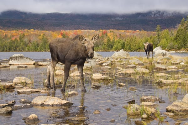 Cow and Calf Moose in Autumn Scenic