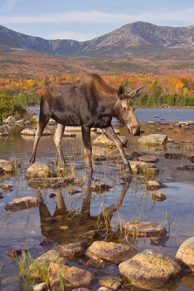 Cow Moose and Mt Katahdin Scenic