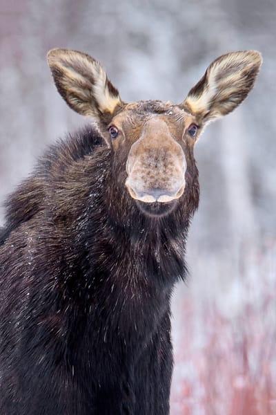 Freckles Cow Moose