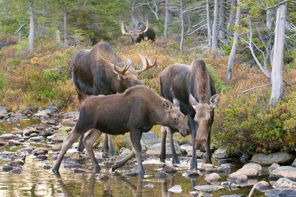 Four Moose