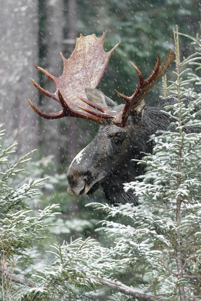 Moose in Spruce