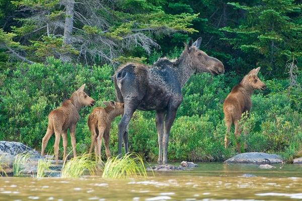 Moose Triplets