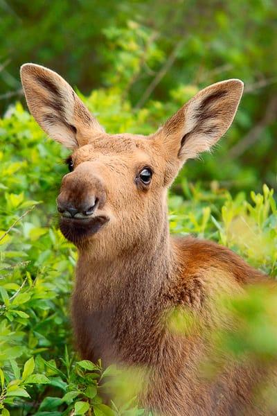 Moose Calf Portrait