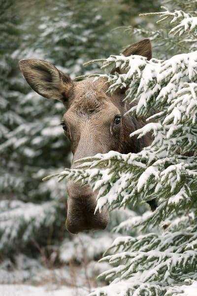 Peek-a-boo Cow Moose
