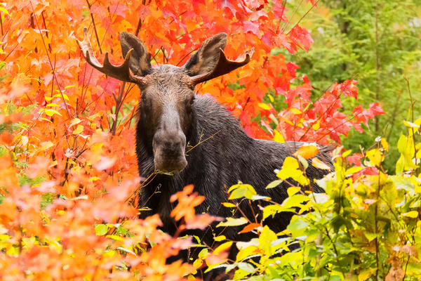 Red Maples and Young Bull Moose