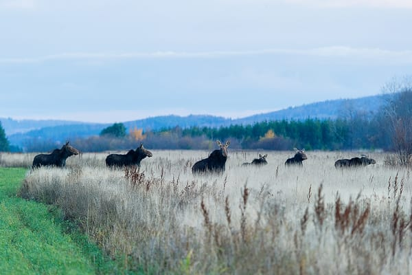 Six Cow Moose