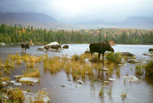 Six Moose