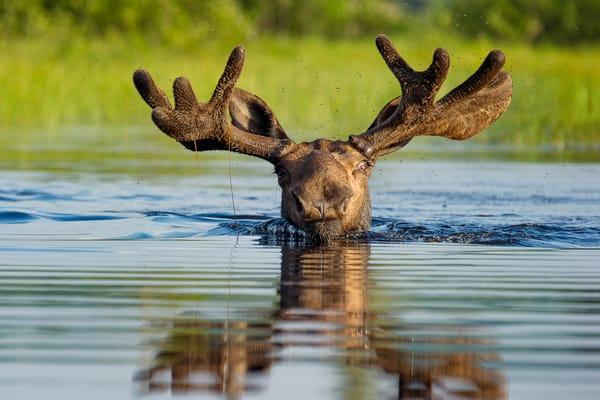 Swimming Bull Moose