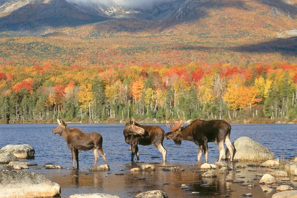 Three Moose in Fall Color