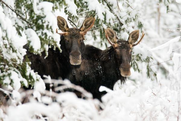 Two Bull Moose in Snow