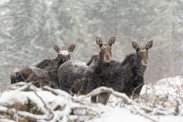 Three Moose in Snow