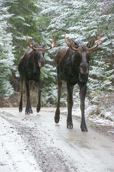 Two Bull Moose in Road