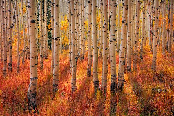 pine canyon golden aspens