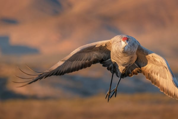 Majestic Sandhill Crane Flight