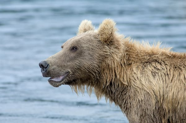 Portrait Of A Brown Bear Art | Alaska Wild Bear Photography