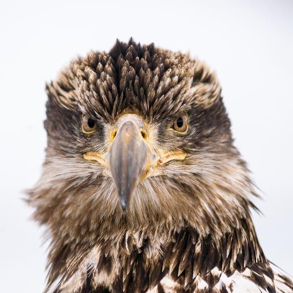 Young Bald Eagle Portrait Art | Alaska Wild Bear Photography