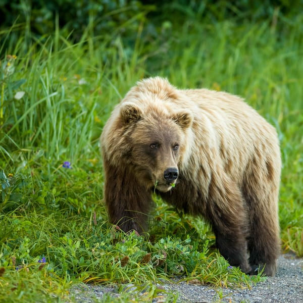 Young Brown Bear In Flowers Art | Alaska Wild Bear Photography