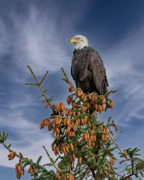 Majestic Eagle Among The Cones Art | Alaska Wild Bear Photography