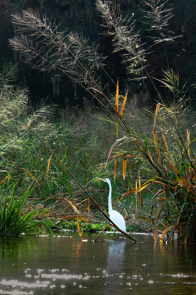 9655 Great Egret  Art | Cunningham Gallery