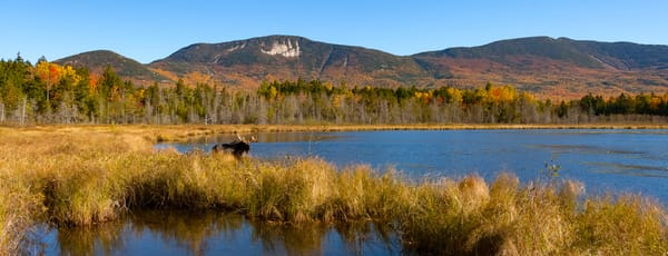 Bull Moose and Katahdin Range from Kidney Pond
